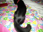 Chitam - Domestic Long Hair Cat
