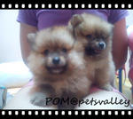 Quality Pom For Sale~ - Pomeranian Dog