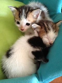 3 Orphan Kittens In Need Of Loving  - Tabby + Domestic Short Hair Cat