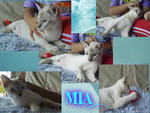 Mia - Domestic Short Hair Cat