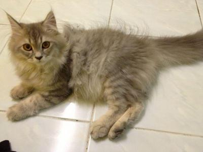 Long haired maine coon mix