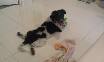 Woofie - Border Collie Mix Dog