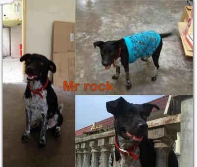 Rock(Labu) - Labrador Retriever Mix Dog