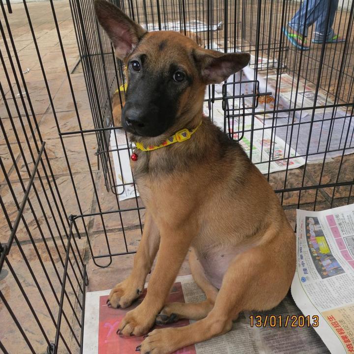 Belgian Shepherd Malinois Mix Puppy Adopted - 5 Years 11 ...
