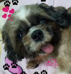 Papi Uncle - Shih Tzu Dog
