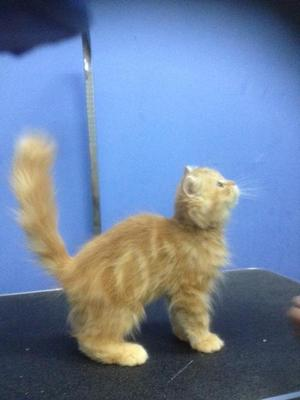 Is my kitten a maine coon mix