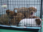 ❾puppies ( 6 Weeks  ) - Mixed Breed Dog