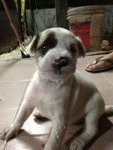 5 Puppies For Adoption - Mixed Breed Dog