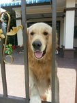 Jimmy - Golden Retriever Dog