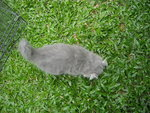 Blue(Grey) And White Persian Kitten - Persian Cat
