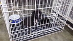 2 Black Pups (Sibling-Male-1 Month) - Mixed Breed Dog