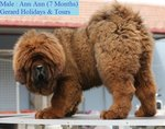PF48498 - Tibetan Mastiff Dog