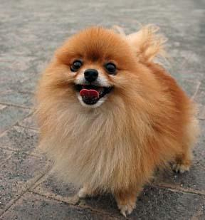 Pomeranian Puppies Sold - 10 Years 8 Months, Quality Golden