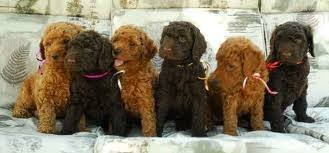 Poodle Puppies For Sale - Poodle Dog
