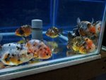 China Ranchu - Goldfish Fish