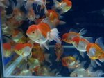 Red & White Lionhead Gold Fish - Goldfish Fish