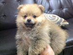 Mka Mini Pomeranian For Sale - Pomeranian Dog