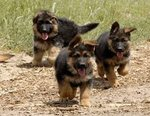 Gsd Pup For Sale... - German Shepherd Dog Dog