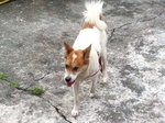 NotSure Found In Serdang - Mixed Breed Dog