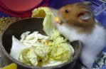 Cute And Adorable Syrian Hamsters - Common Hamster Hamster