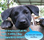 Bluu - Greyhound + Labrador Retriever Dog