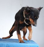 ROTTIE THE CLIMBER - Mixed Breed Dog