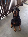 Tina - Doberman Pinscher Mix Dog