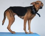 GUARD/FAMILY DOGS FOR ADOPTION - Mixed Breed Dog