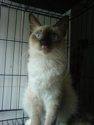 Helley (Sold) - Siamese + Domestic Medium Hair Cat