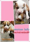 Quality American Bully Puppies - Pit Bull Terrier + American Staffordshire Terrier Dog