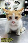 Kin-Kin, The Paralyzed Kitten - Domestic Short Hair Cat
