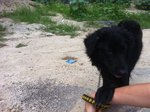 Negrito (Little Black Dog) - Spitz Mix Dog