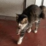 Dafei - Domestic Short Hair Cat