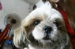 Cola - Shih Tzu Dog