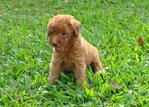 Puppy Toy Poodle - Poodle Dog