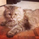 Princess - Maine Coon + Norwegian Forest Cat Cat