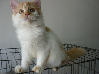 Persian Female Citrus - Persian Cat