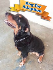 Rottweiler for adoption