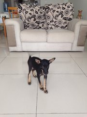 Bob - Miniature Pinscher + Chihuahua Dog
