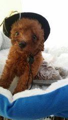 Super Red Teacup Poddle - Poodle Dog