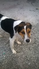 Patrick (Gentle & Sweet Boy) - Beagle Mix Dog