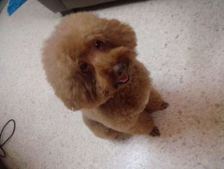 Chocolate   - Poodle Dog