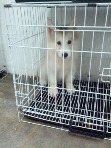 Husky Puppy Sold - 3 Years 3 Months, Light Grey Wooly ...