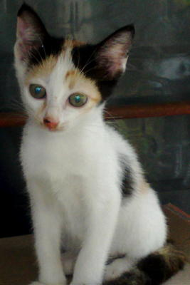 Cikeding - Calico Cat