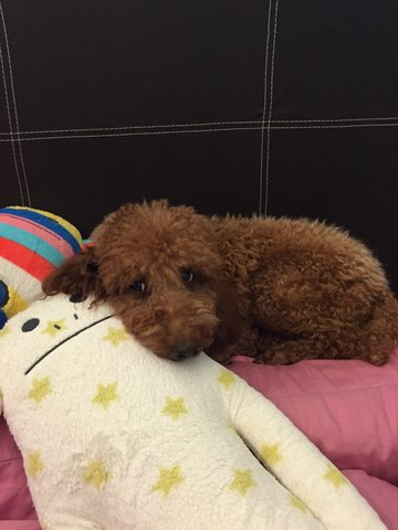 Ted - Poodle Dog