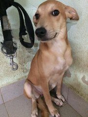 Sandy - Mixed Breed Dog
