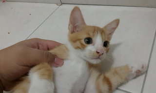 Oreng - Domestic Short Hair Cat