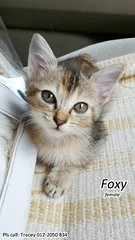 (Adopted) Tracey - Foxy - Domestic Short Hair + Calico Cat