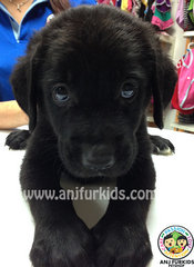 Adorable Female Labrador Retriever  - Labrador Retriever Dog
