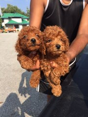 Toy Red Poodle - Poodle Dog
